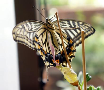 Papilio-xuthus-02