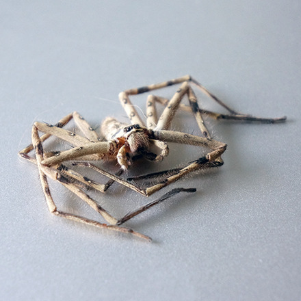 Brown-huntsman-spider02