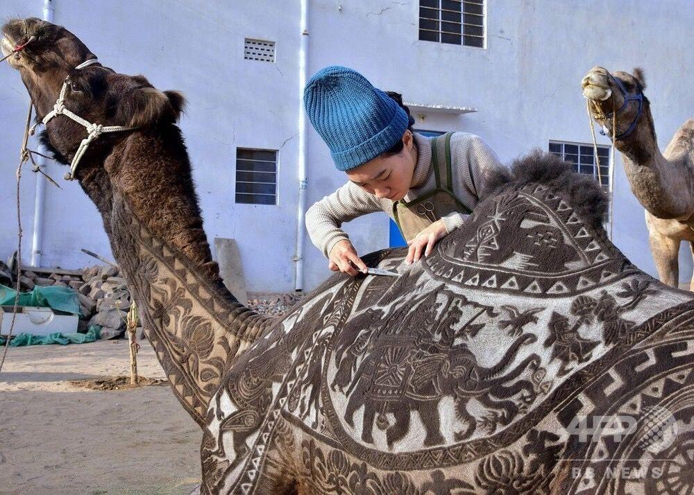 【悲報】ラクダさん、日本人女性の手にかかり体を切り刻まれてしまう