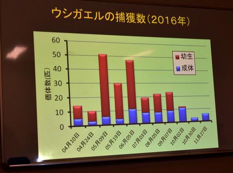 ⑥ ウシガエルの捕獲数(2016年)
