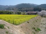 黄色い絨毯〜♪