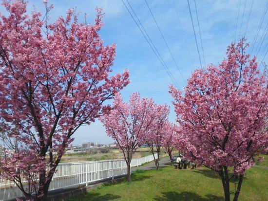 新横浜北側の八重桜