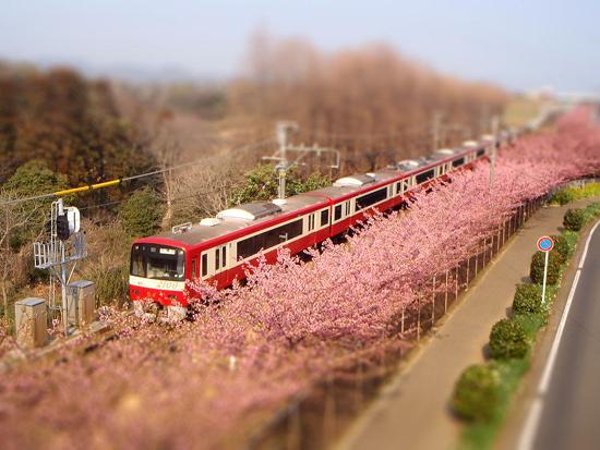 三浦河津桜と京急