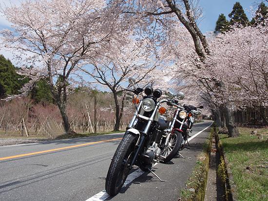 富士宮桜並木