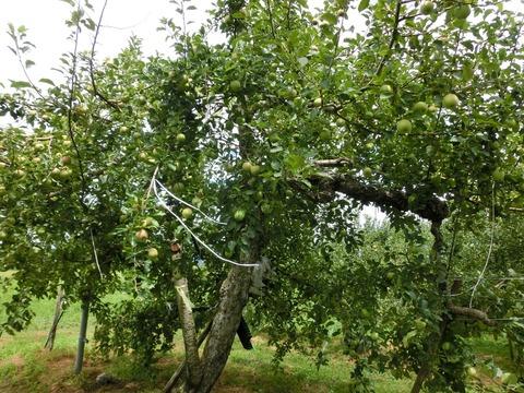 リンゴ狩り下見3