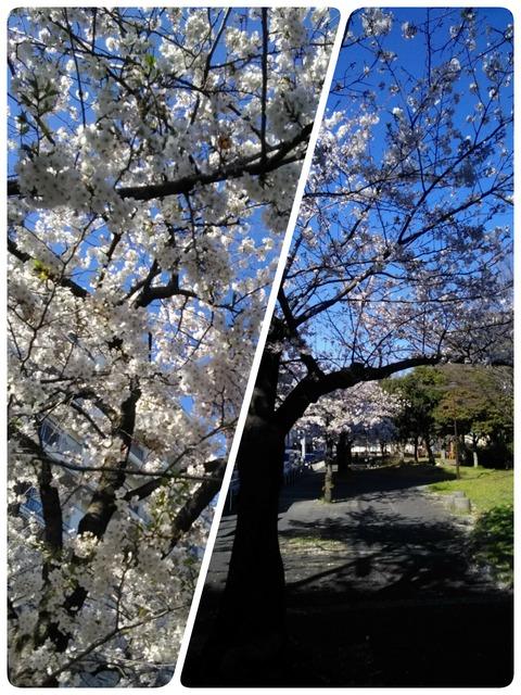 2019.4桜