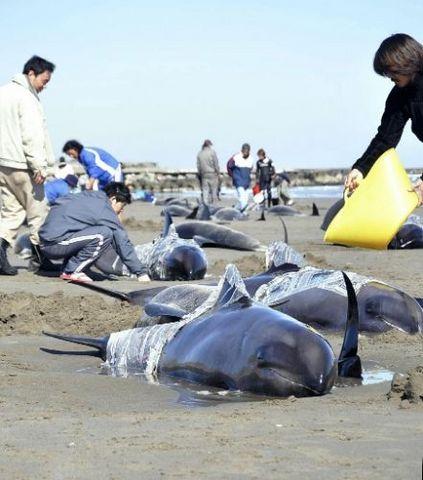 クジラ座礁日本での事例.jpg