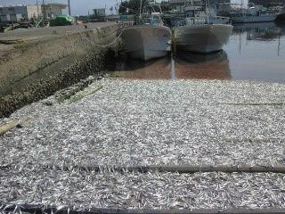 千葉県でイワシ大量死2