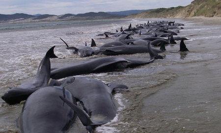 ニュージーランドでクジラの群れ座礁.jpg