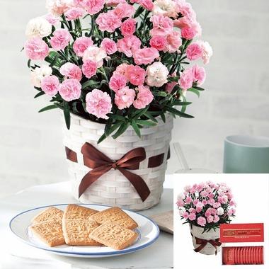 ピンクカーネーション鉢植え「バンビーノ」5号と六花亭
