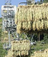スキーリフトを利用し、天日干しされる「天空米」(新潟県南魚沼市で)=米山要撮影