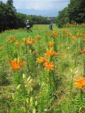 満開のユリの花で彩られる冨士山麓。遠くにかすむのは御坂山系の山々(写真:産経新聞)