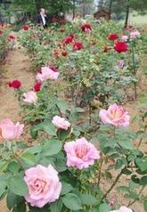 ピンクや赤など色とりどりのバラが咲くバラ園(7日、加茂市長谷)