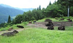 スキー場のゲレンデで放牧されている但馬牛=香美町小代区新屋のミカタスノーパーク