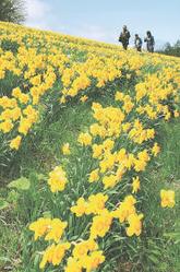 ゲレンデを黄色に染めるように咲き誇るスイセン