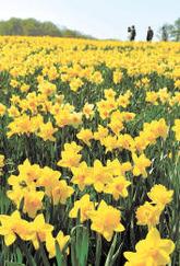 ゲレンデで咲き乱れるスイセン