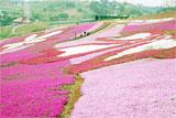 5色の花が咲きそろい、見ごろを迎えている大森リゾート村のシバザクラ