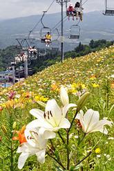 大自然の中、色とりどりの花を咲かせるユリ=23日午前、郡上市高鷲町、ダイナランドゆり園