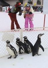 かわいいしぐさでゲレンデの人気を集めたマゼランペンギン=2日、上越市安塚区