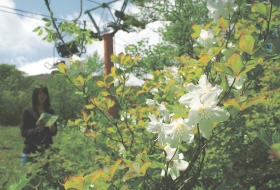 かれんな白い花が見頃を迎えたシロヤシオツツジ