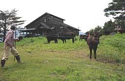 本格的な但馬牛の放牧が始まったスキー場ゲレンデ=香美町小代区新屋のミカタスノーパーク