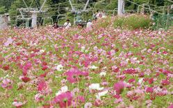 高原に咲き誇る色とりどりのコスモス=阿智村の治部坂高原スキー場で