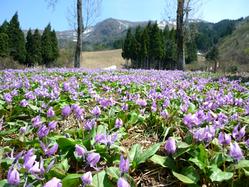 カタクリの花が見ごろ 八海山スキー場 /新潟