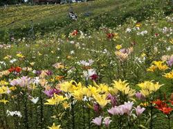 ゲレンデを彩るユリの花=岐阜県郡上市のダイナランドゆり園で2010年7月28日、山口政宣撮影