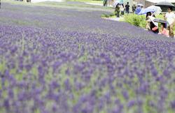 紫色に色づき始めたラベンダー=群馬県沼田市で、武市公孝撮影