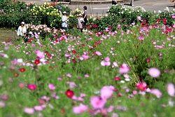 あちこちで咲きそろい、ダリアとともに来場者の目を楽しませているコスモス=7日、信濃町の旬花咲く黒姫高原