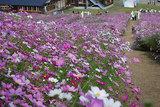 秋の彩り、コスモス満開/富山 となみ夢の平スキー場