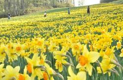 見ごろを迎え、スキーゲレンデを黄色く染めるスイセン=宮城県蔵王町のみやぎ蔵王えぼしスキー場で、丸山博撮影