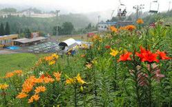 咲き始めているユリの花=郡上市高鷲町の「ダイナランド・ゆり園」で