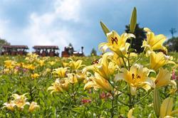 標高1000メートルのゲレンデで色鮮やかに咲くユリ=岐阜県郡上市で2013年8月4日、佐々木順一撮影