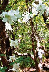 新緑の木陰で、シロヤシオがかれんな白い花を咲かせた