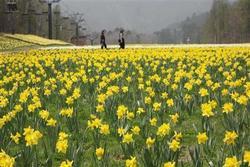 ゲレンデを埋めつくすスイセンの花(写真:産経新聞)