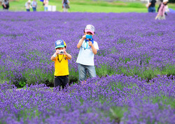 たんばらラベンダーパークでは、8月上旬から下旬にかけて、毎年大好評の「ラベンダー花摘み体験」が催される。持ち帰った花はドライフラワーやポプリにして保存しよう。1回¥500