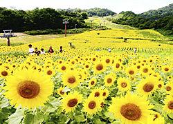 鮮やかに咲き誇り、訪れた人の目を楽しませるヒマワリ=19日午後、喜多方市熱塩加納町・三ノ倉高原