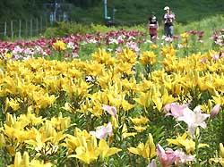 見頃を迎えた治部坂高原スキー場のユリの花