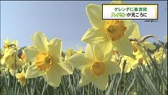 ゲレンデに春満開 スイセン見ごろに