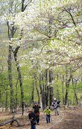 那須染める白い花便り シロヤシオが開花