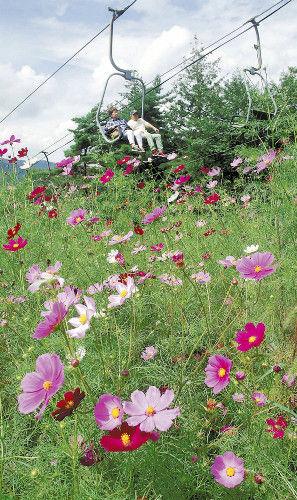 コスモスの花が満開となっている治部坂高原スキー場