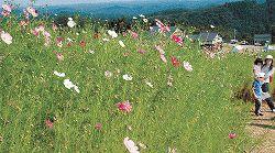 100万本がかれんに咲くコスモスウォッチング=砺波市の夢の平スキー場