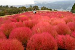 紅葉し見ごろを迎えているコキア=滋賀県高島市で2013年10月6日、大西岳彦撮影