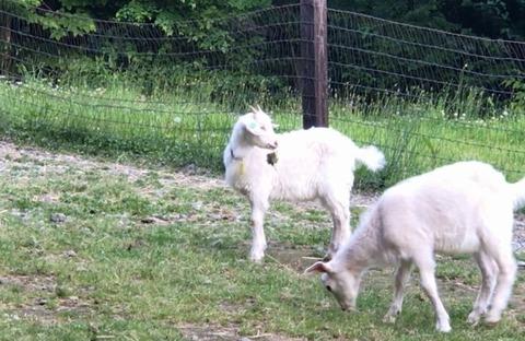 ヤギと草だま