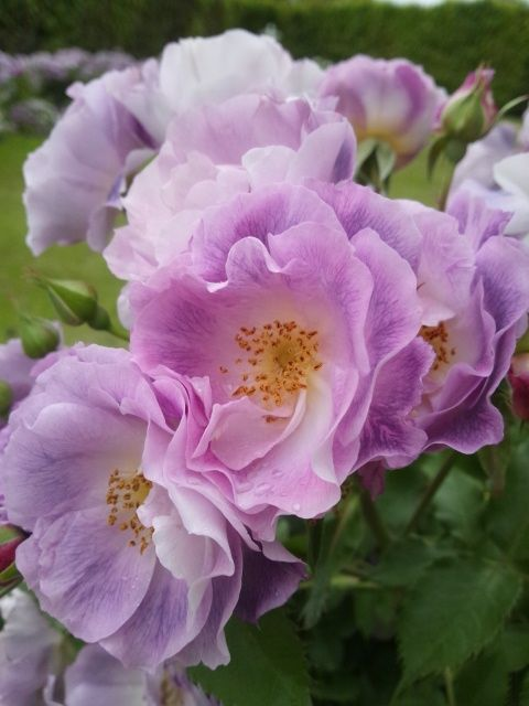 薄紫が綺麗!.jpg