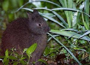 ARBA公認品種 番外編 -日本に生息する野生のウサギたち その4/4 アマミノクロウサギ-