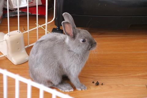 ウサギの食糞【ぶどう糞(盲腸便)】