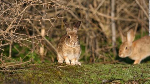 ウサギに急速に広まるウィルス感染 -ウサギ出血病-