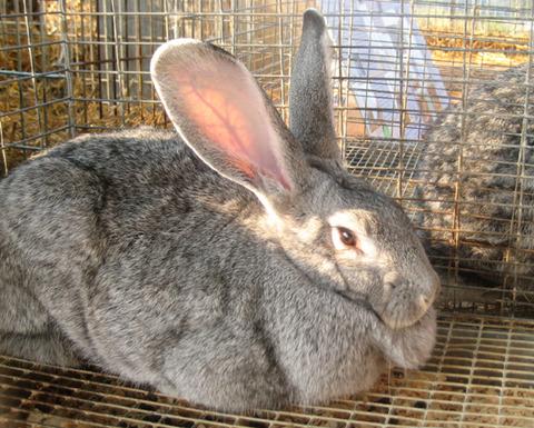 giant_chinchilla_rabbit_by_luusan